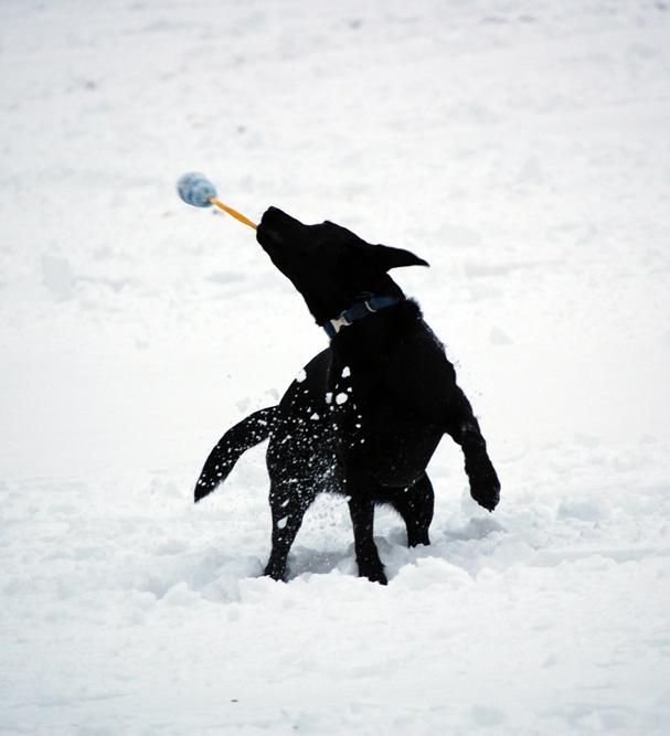 Dog Benny plays in the snow ©Rose De Dan www.reikishamanic.com