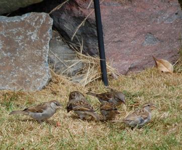 Sparrows at feeder base sm