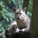 Animal Ambassador Alpha Wolf Doba at Woodland Park Zoo ©Rose De Dan 2013