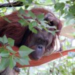 Orangutan Hammock, Woodland Park Zoo ©Rose De Dan www.reikishamanic.com