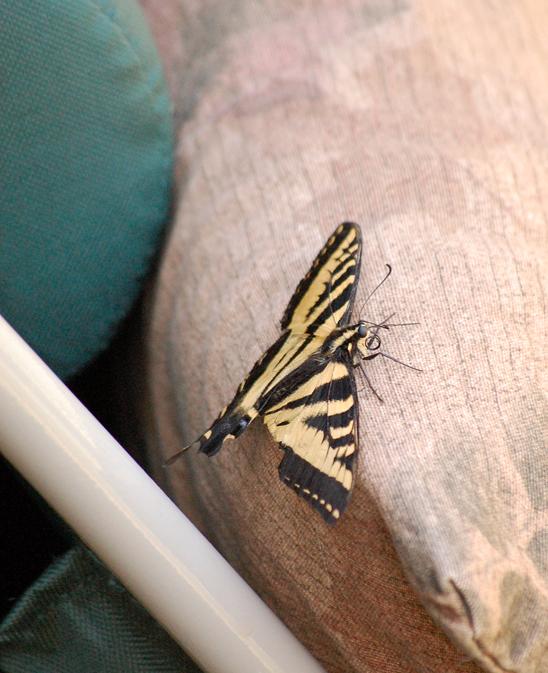 Swallowtail Butterfly Friend ©2013 www.reikishamanic.com