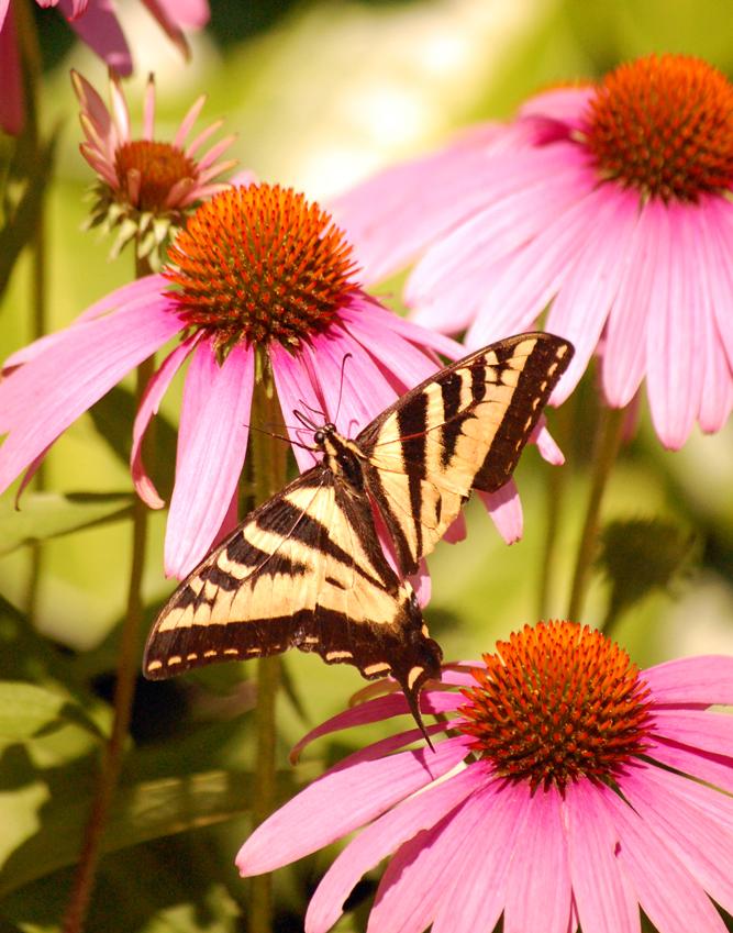 Swallowtail Butterfly Sips ©2013 Rose De Dan www.reikishamanic.com