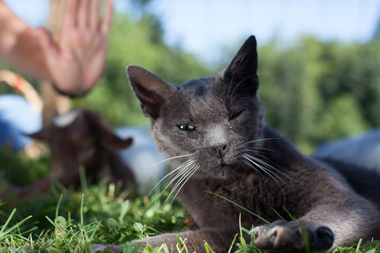 Rose De Dan offers Reiki to goat Tonka and cat Viggo ©www.reikishamanic.com