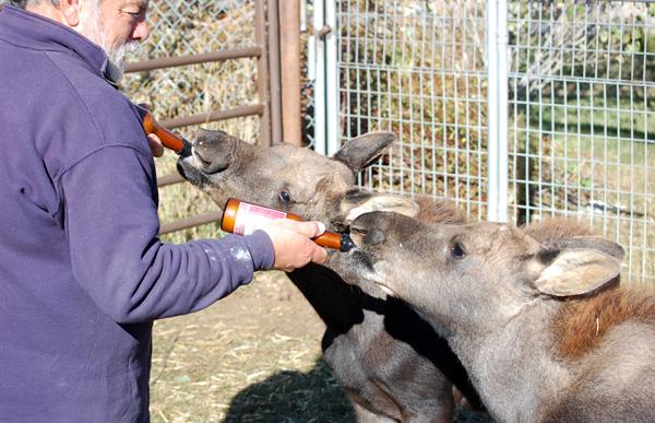 Jean Simpson, Earthfire Institute, feeds Moose Babies at A Walk on the Wild Side ©2013 Rose De Dan www.reikishamanic.com
