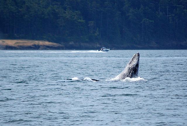 Grey Whale Baby and Speedboat ©2014 Rose De Dan