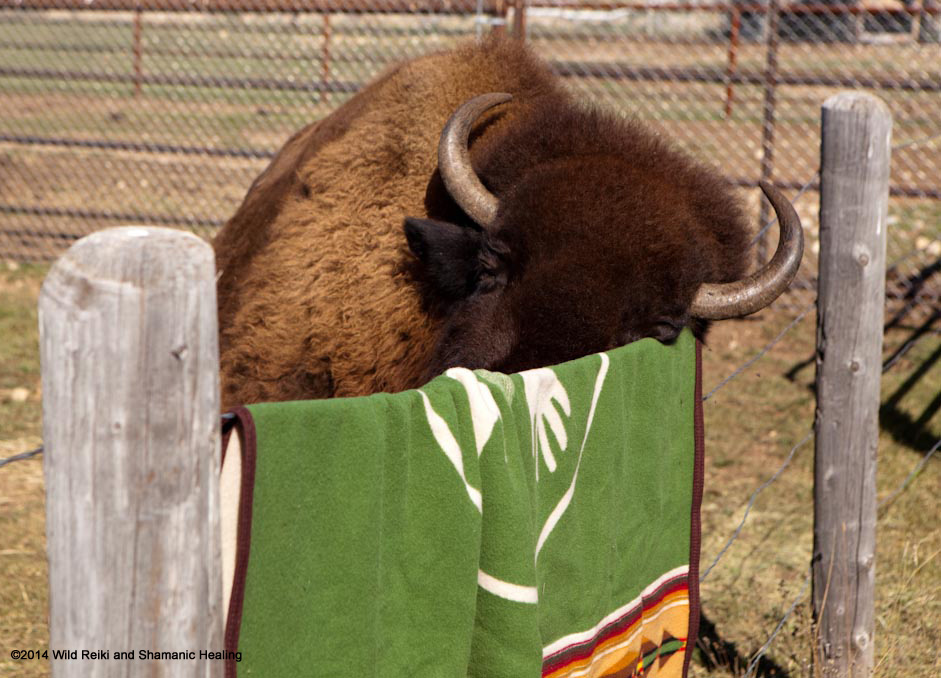 Bluebell rubs her face on the Buffalo Blanket, Photo ©2014 Andrew Hinton