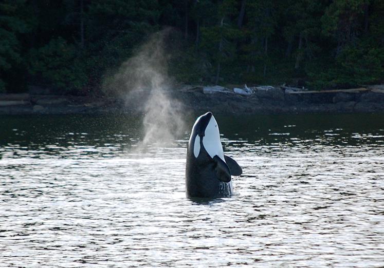Orca Spy Hop, ©Rose De Dan www.reikishamanic.com