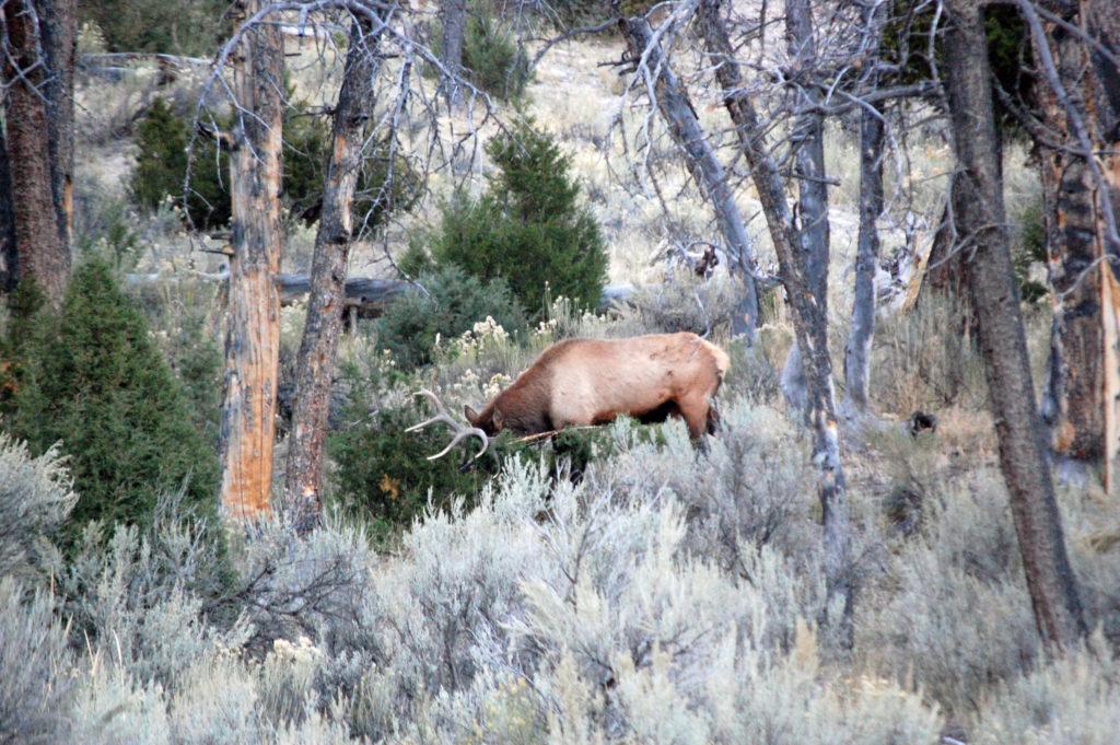 Elk Antlers, ©Rose De Dan www.reikishamanic.com