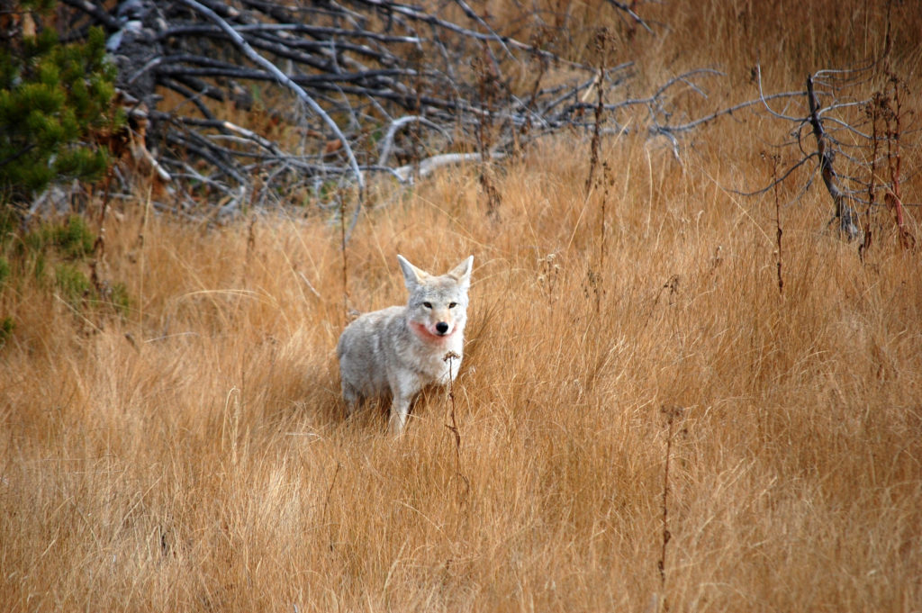 Coyote look, Yellowstone, ©Rose De Dan 2015 www.reikishamanic.com