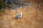 Coyote look, Yellowstone, ©Rose De Dan 2015 www.reikishamanic.com