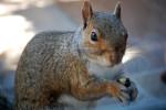 Secret Agent Squirrel 1, ©Rose De Dan www.reikishamanic.com