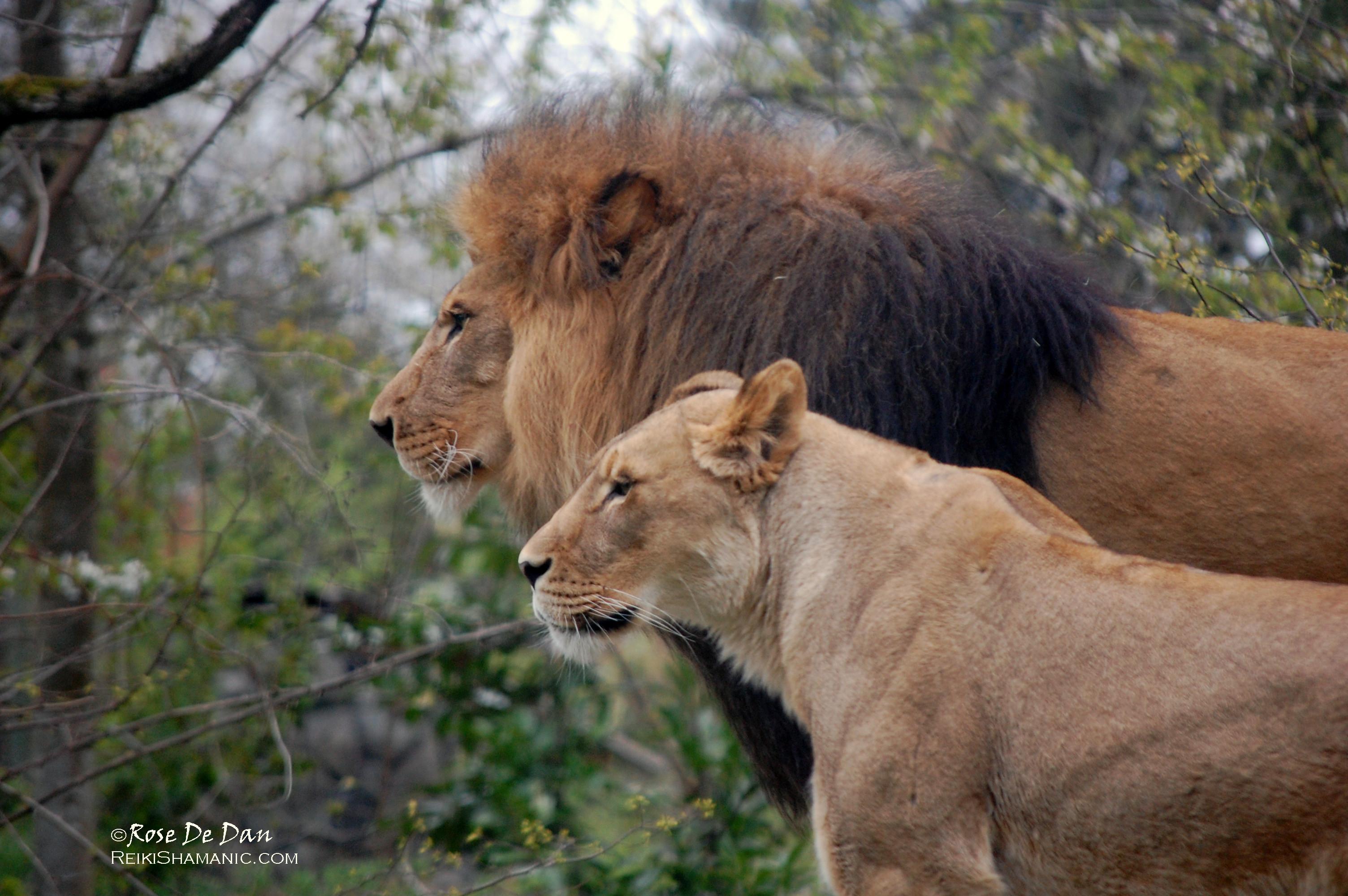 Lions Xerxes Adia Unity, ©Rose De Dan www.ReikiShamanic.com